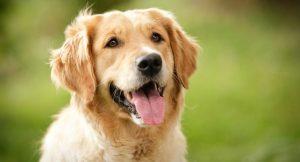 Lista de animais domésticos Cachorro