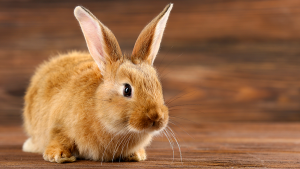 Lista de animais domésticos Coelho
