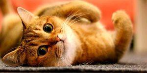 Lista de animais domésticos Gato