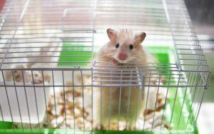 Lista de animais domésticos Hamster