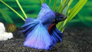 Lista de animais domésticos Peixes