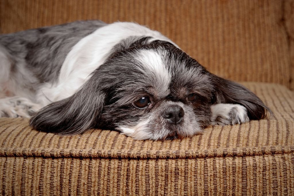 Cachorro não quer comer por stress ou depressão