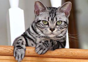 Raças de Gatos American Shorthair