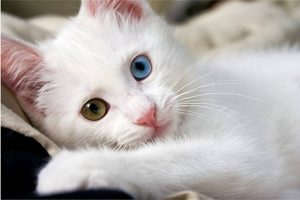 Raças de gato Angorá