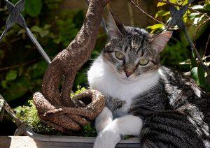 Raças de Gatos Brazilian Shorthair