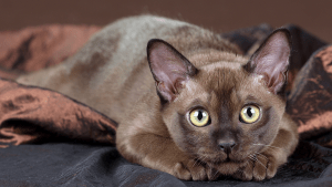 Raças de Gatos Burmês