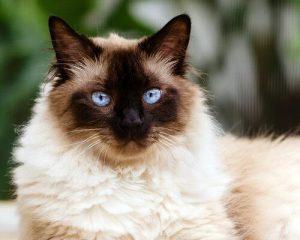 Raças de Gato Himalaio