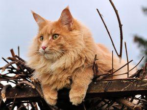 Raças de Gato Maine Coon