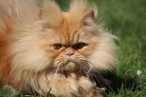 Raças de gato Perça