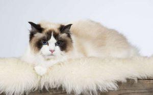 Raças de Gatos Ragdoll