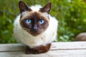 Raças de Gato Siamês
