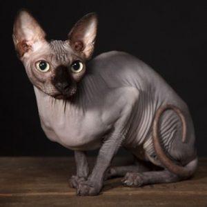 Raças de Gatos Sphinx