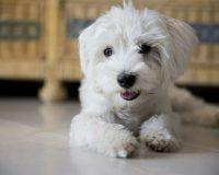 Cachorro para apartamento: Maltês