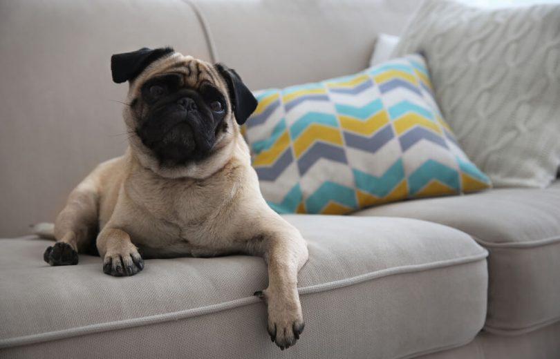 Cachorro para apartamento:? Pug