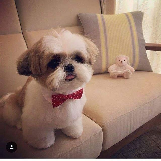 Raças de cachorro para apartamento Shih Tzu