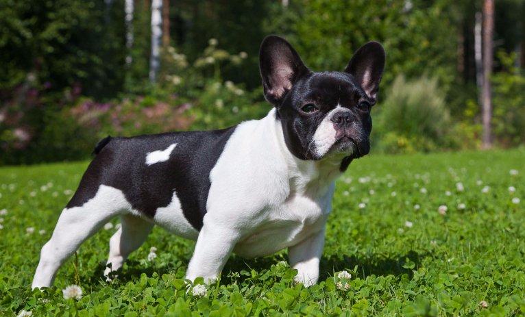 Raças de cachorros Bulldog Francês