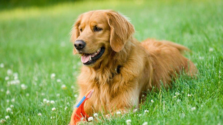 Raças de cachorros Golden Retriever