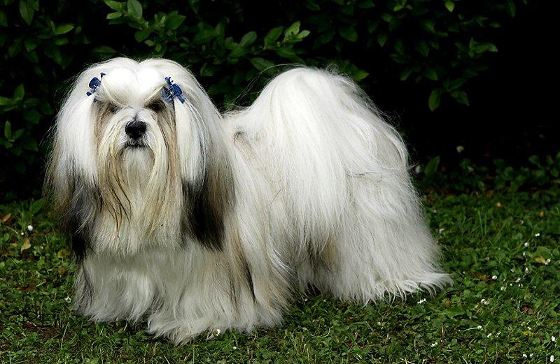 Raças de cachorro Lhasa Apso