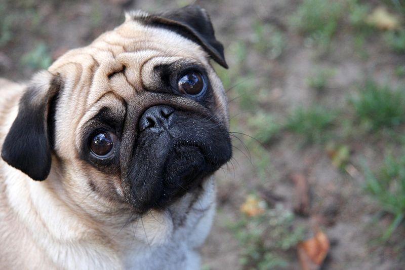Raças de cachorros Pug
