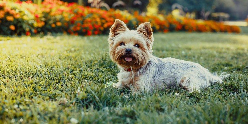 Raças de cachorros Yorkshire Terrier