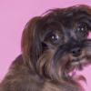 Cachorra menstruada: O que fazer, dicas e cuidados com seu pet