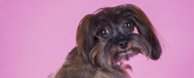 cachorra menstruada