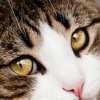 Gato chorando: como saber se o seu gato está sofrendo