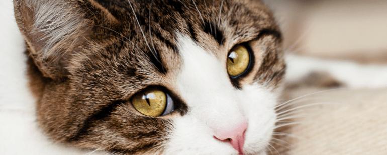 Como saber se o seu gato está chorando