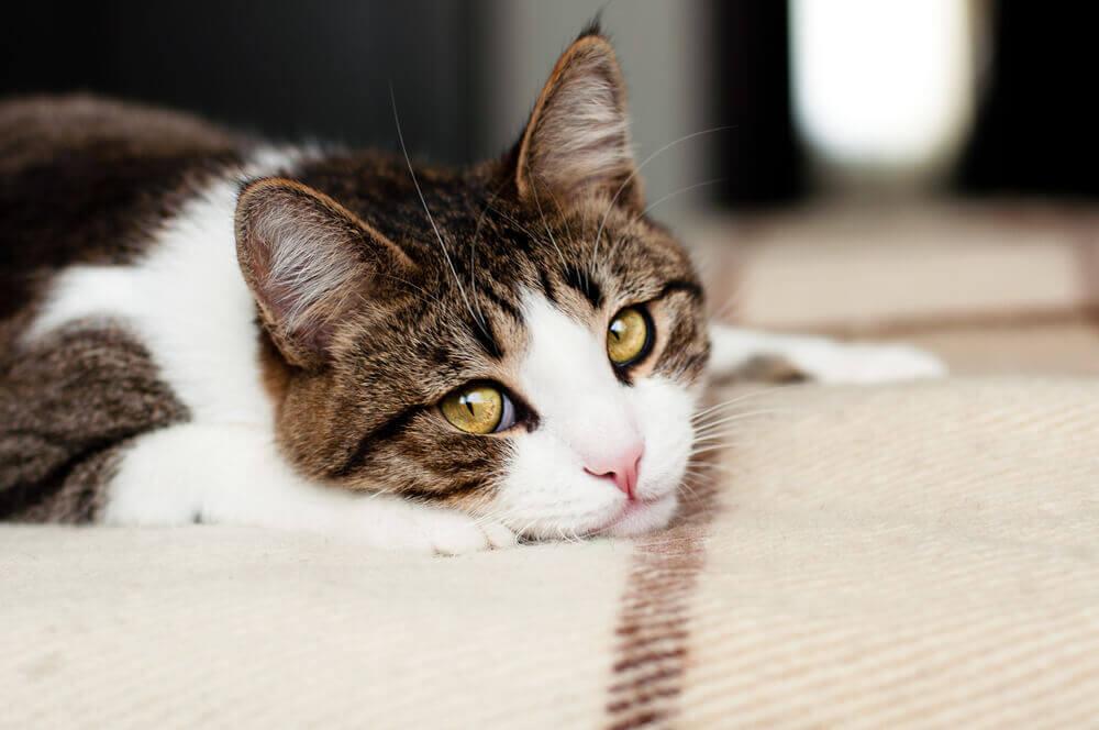 Como saber se seu gato está chorando