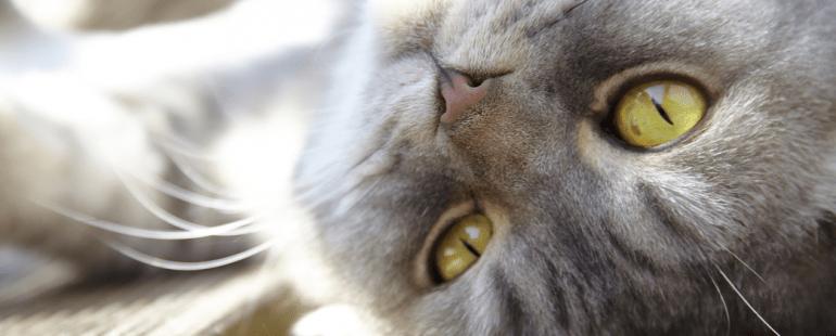 Quanto tempo dura o cio do gato