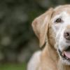 Idade de cachorro: como saber a idade do seu cão