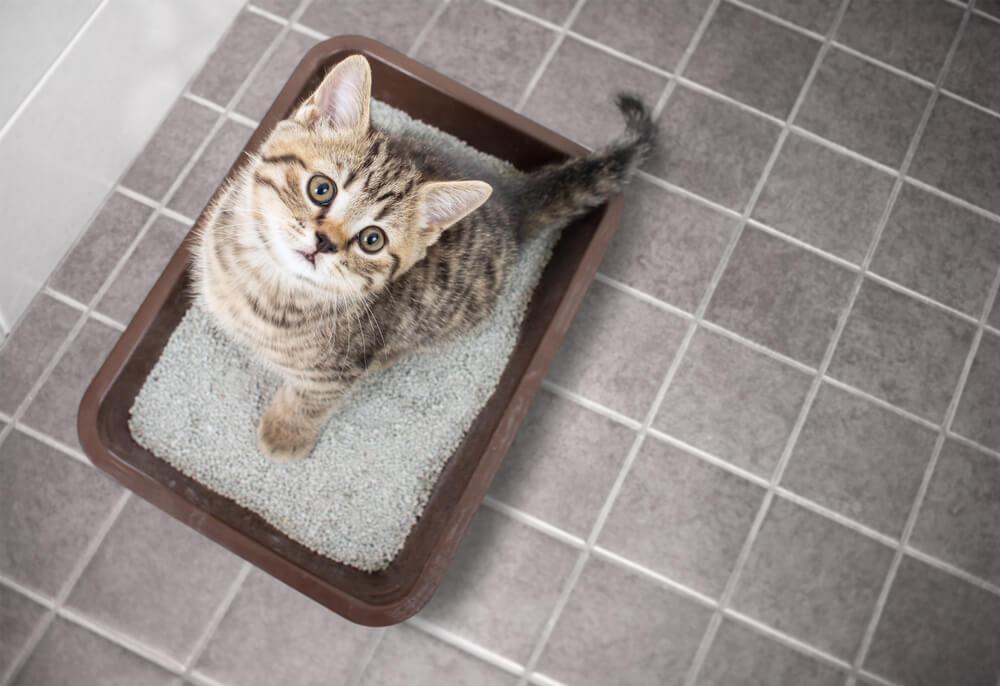 gato urinando pela casa