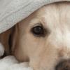 Meu cachorro está com febre: o que fazer?