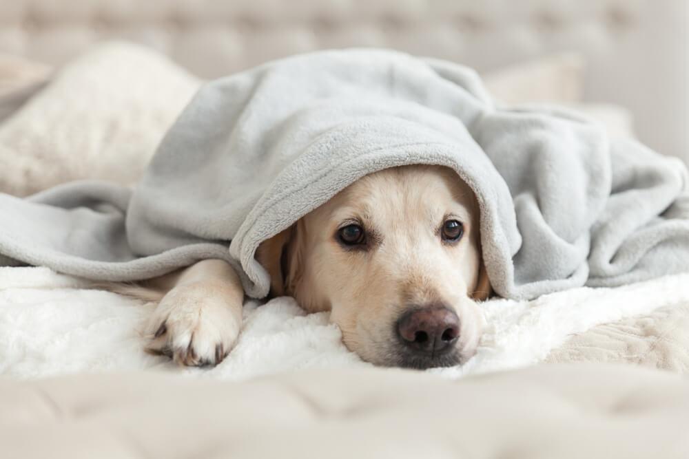 Meu cachorro está com febre