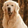 Raças de cachorros grandes: Lista completa