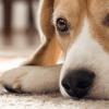 Deixar o cachorro sozinho um fim de semana: o que fazer?