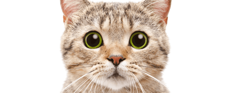como saber se o gato esta com dor destaque