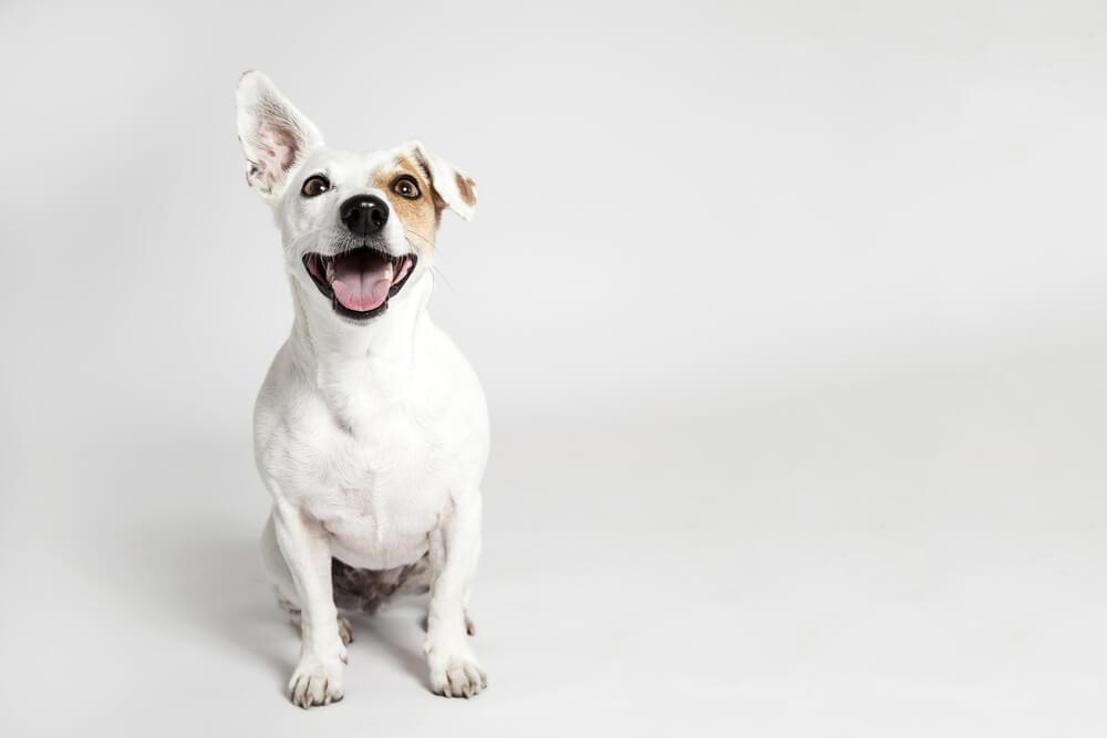 cachorro castrado
