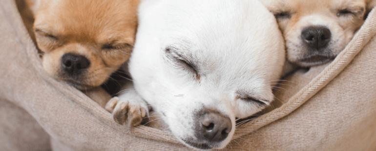 quanto tempo dura a gestacao de cachorros-destaque