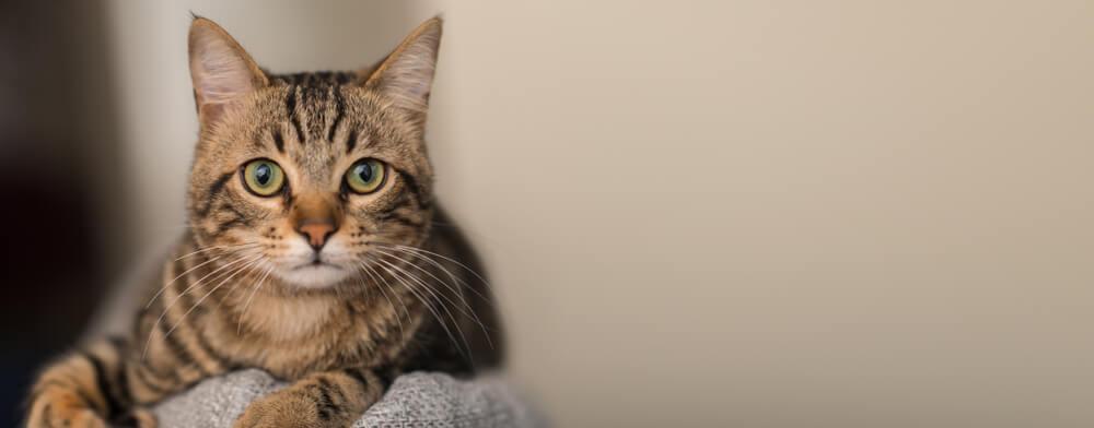 vacinas para gatos