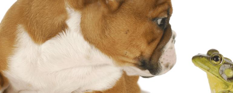 cachorro mordeu um sapo destaque