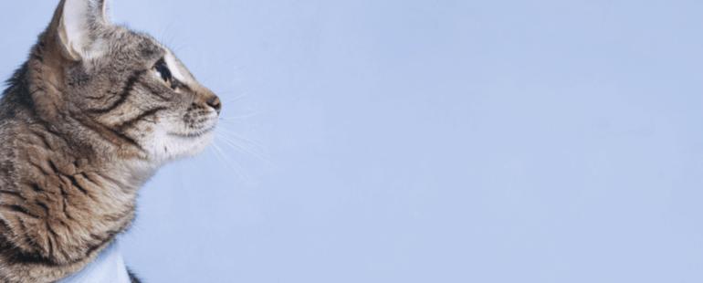 gato castrado destaque