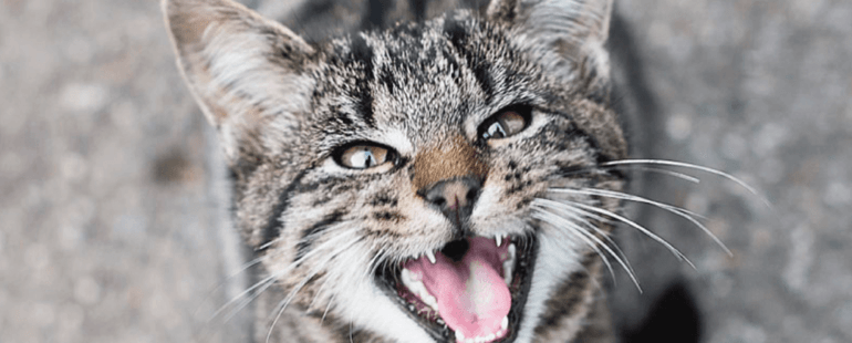 gato miando alto destaque