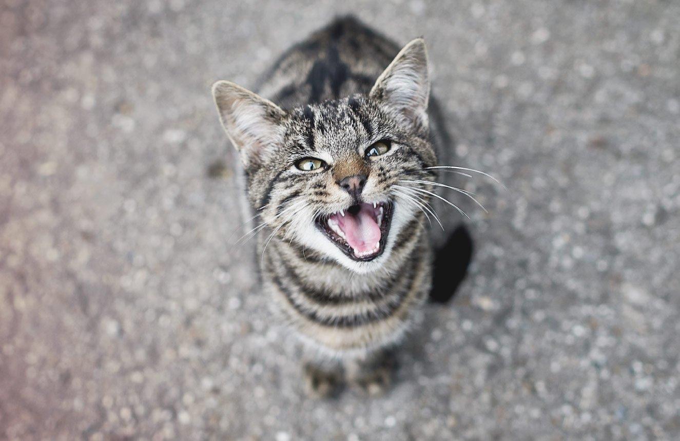 gato miando alto