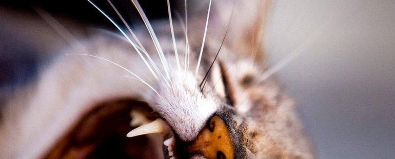 gato miando muito destaque