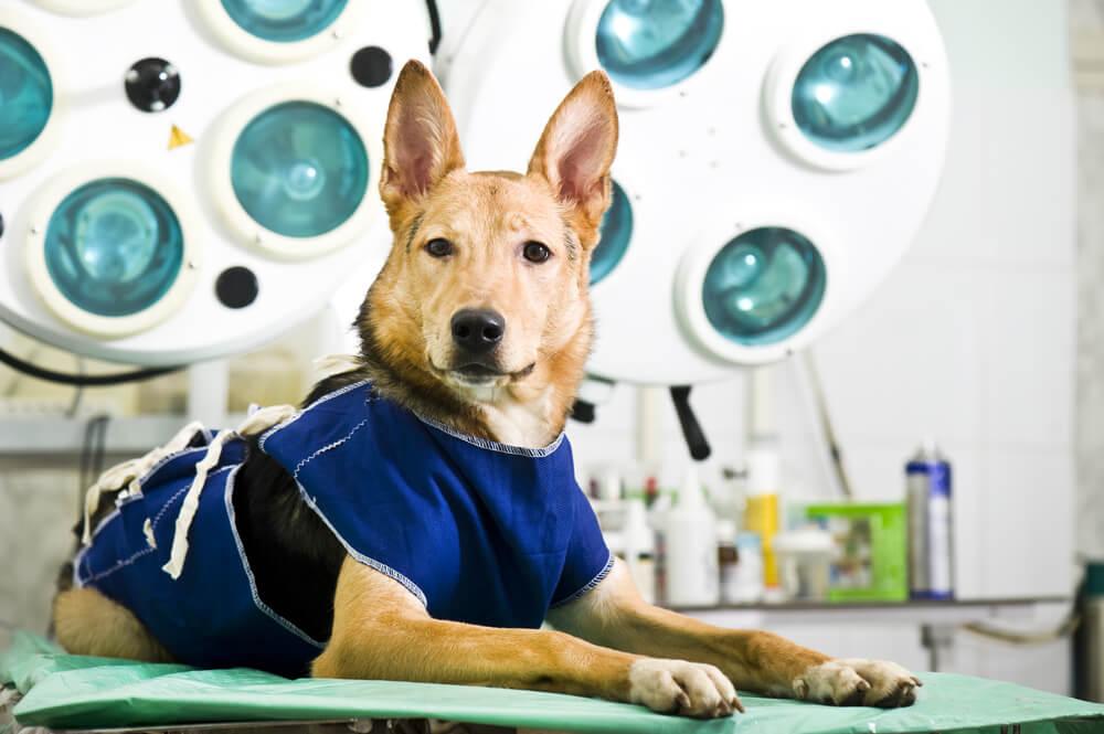 roupa cirurgica para cachorro