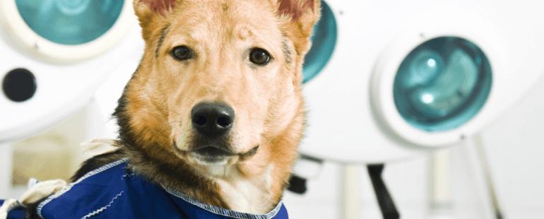 roupa cirurgica para cachorro destaque