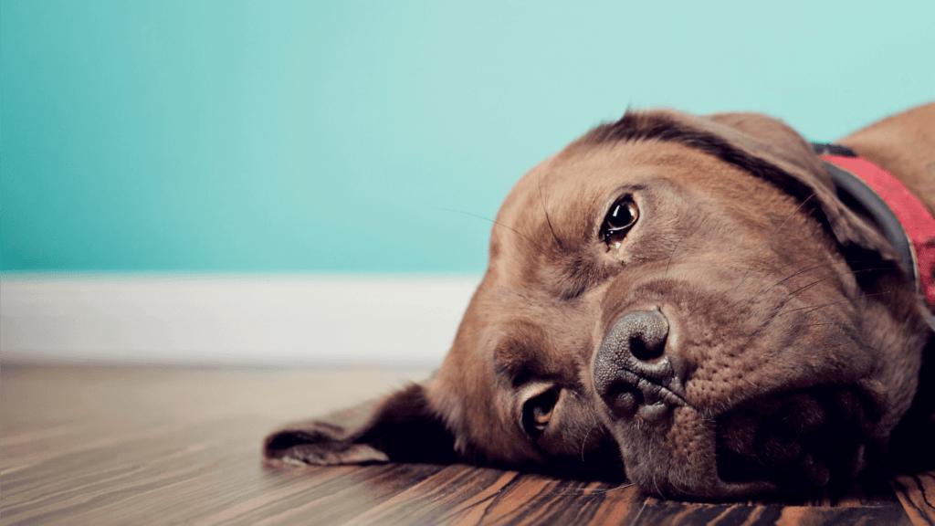 cachorro vomitando