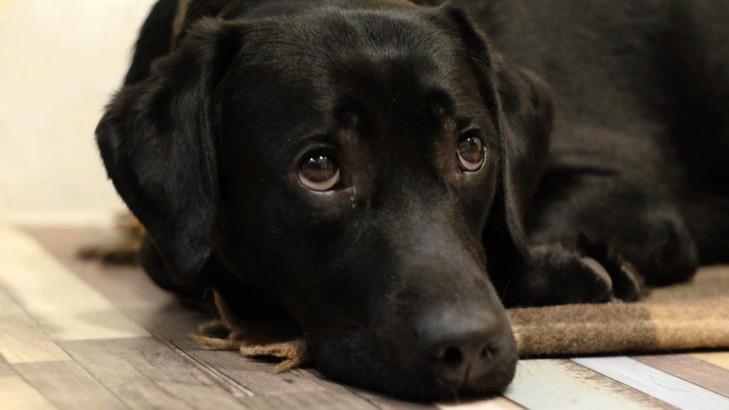 sintomas leishmaniose em cães
