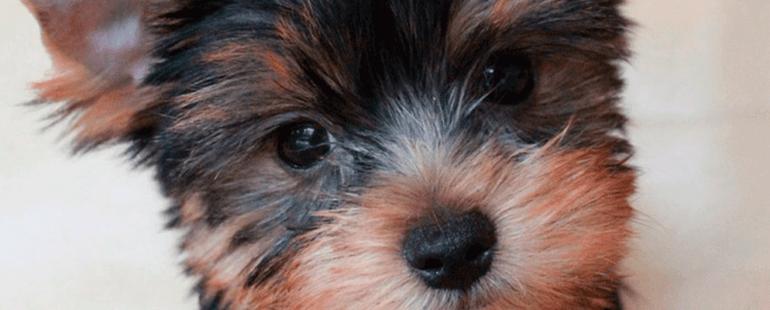 cachorro de porte pequeno destaque